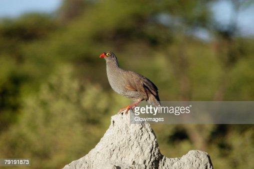 Francolin perching on a termite mound, Kalahari Desert, Botswana : Stock Photo