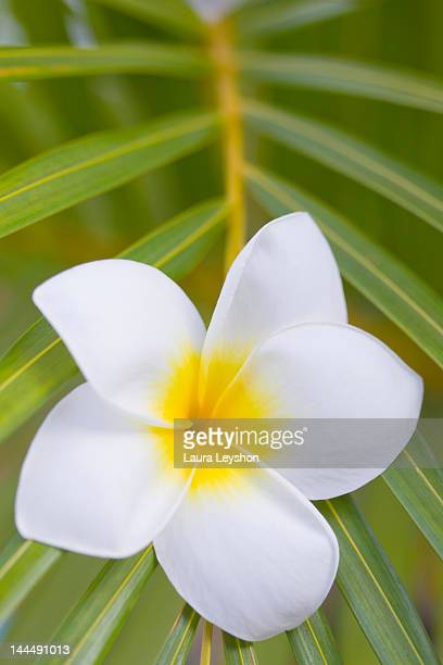 Frangipani and leaf