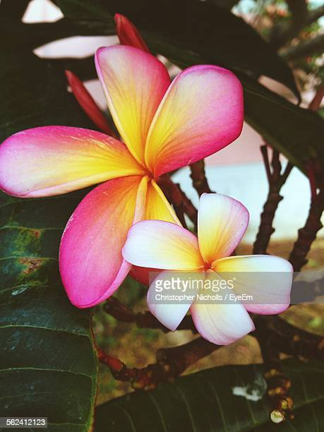 Frangipani Blooming On Tree In Garden