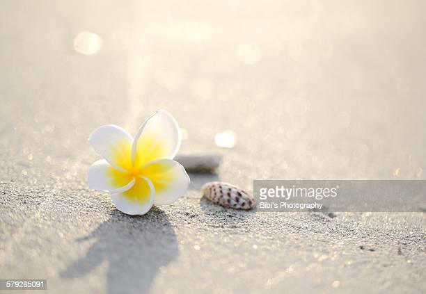 Frangipani flower and shell on the beach