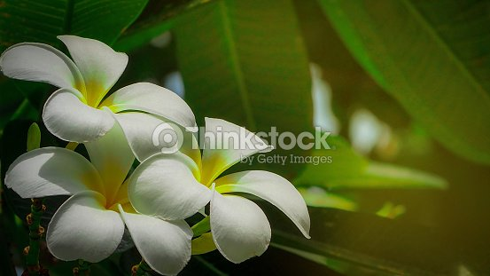 Frangipani Flower With Green Leaves On Blurred Background White