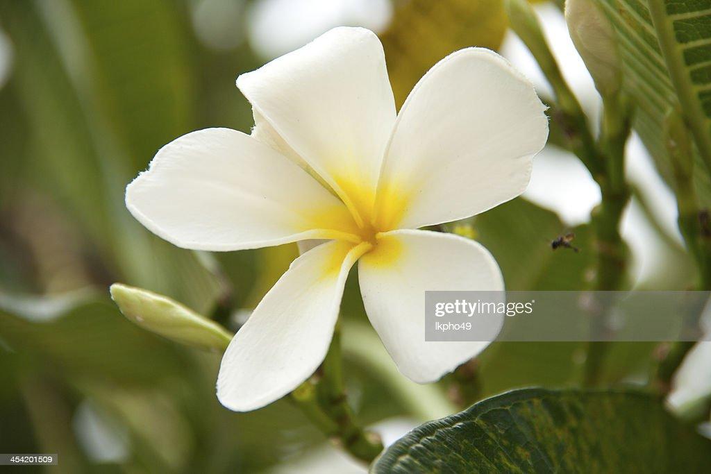 Flores de plumeria : Foto de stock