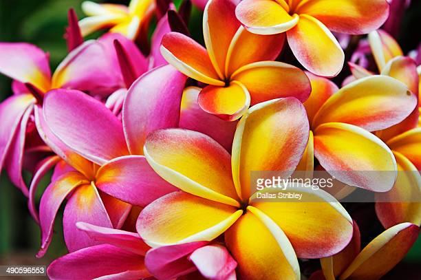 Frangipani ( plumeria ) flowers