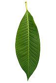 Frangipani leaf with clipping path
