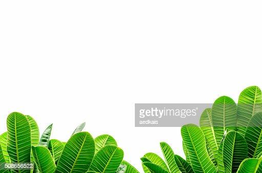 Frangipani leaves : Stock Photo