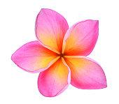 frangipani or plumeria (tropical flowers) isolated on white background