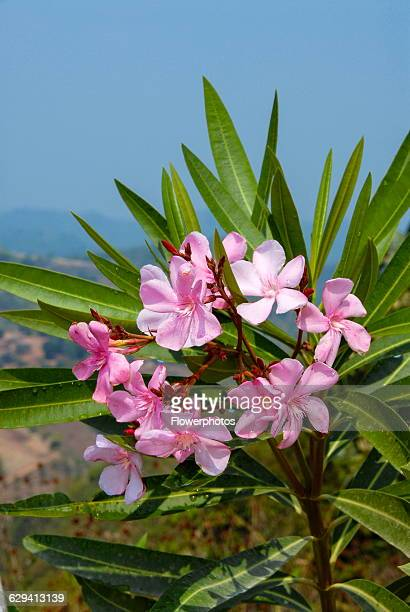 Frangipani Pink flowers and lance shaped leaves of Plumeria rubra growing in Phrao Chiang Mai Thailand
