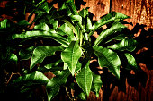 View of long shiny green leaves of the frangipani plumeria in morning light, a member of the dogbane family of plants. Stylized and desaturated.