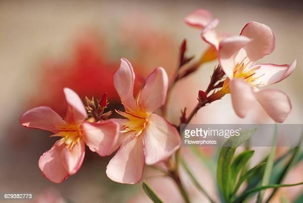 Frangipani / West Indian jasmine / Monoi Plumeria rubra