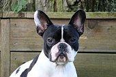 Portrait einer französischern Bulldogge die auf einer Bank sitzt