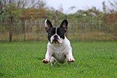 französischer Bulldogge im Garten