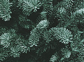 Fraser Fir Winter Holiday Branches Texture