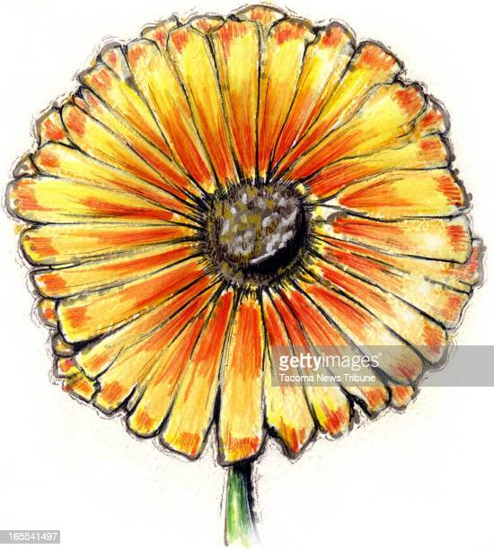 Fred Matamoros color illustration of a gerbera daisy The News Tribune /MCT via Getty Images
