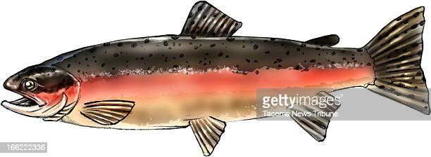 Fred Matamoros color illustration of a steelhead fish an oceangoing form of rainbow trout The News Tribune /MCT via Getty Images