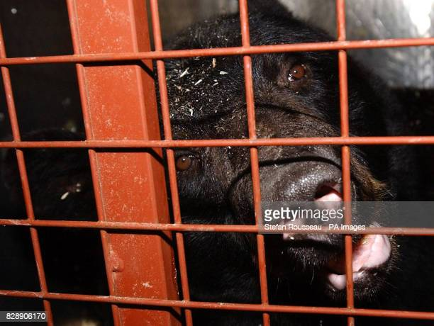 Fred the American Black Bear who is ten years old and weighing 300 kg is packed into a cage at London's Heathrow Airport to be flown to Toronto in...