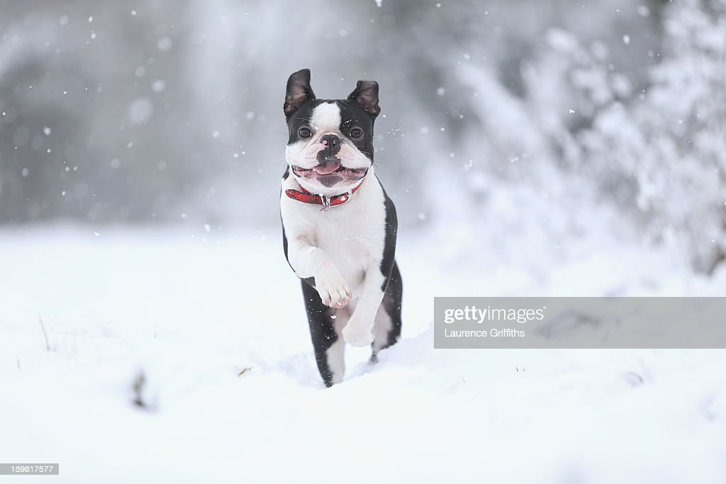 Freddy the Boston Terrier plays in the snow on January 21, 2013 in Nottingham, United Kingdom. The United Kingdom has suffered a weekend of heavy snowfall with many transport routes affected.