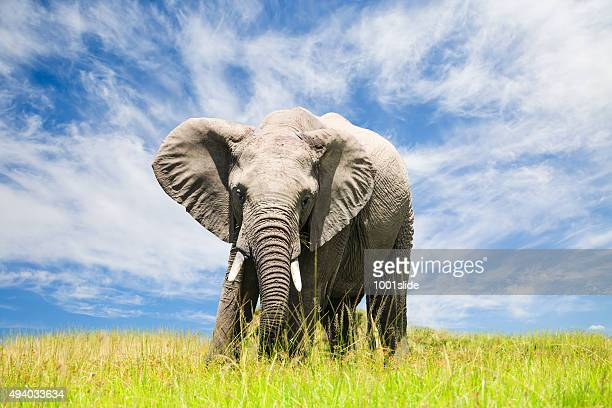 Free African Elephant