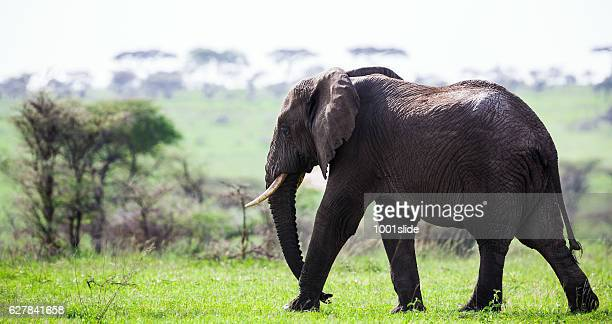 Free African old Elephant at wild