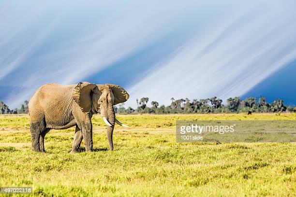 Elefante africano de cortesía