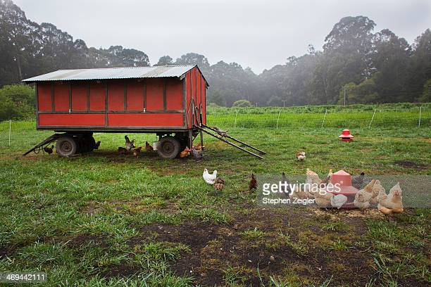 Free range chickens feeding outside a mobile coop