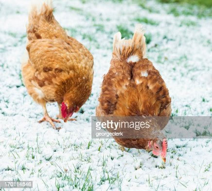 Free Range Hens Feeding in Winter Snow