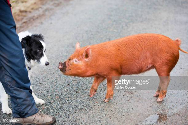 A free range pig on the Isle of Raasay, Scotland, UK investigating a Border Collie dog.