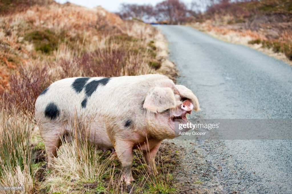 A free range pig on the Isle of Raasay, Scotland, UK.