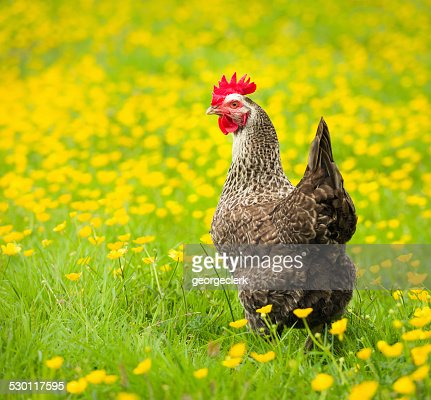 Free range speckled hen