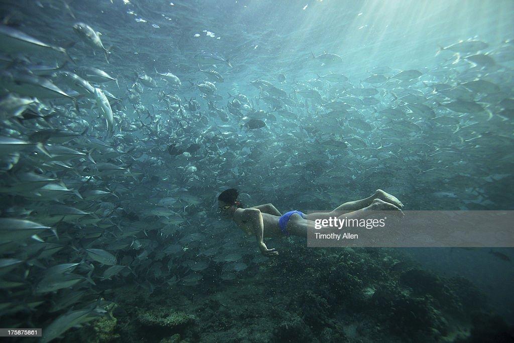 Freediver swims with Jack Fish at Sipidan Island : Stock Photo