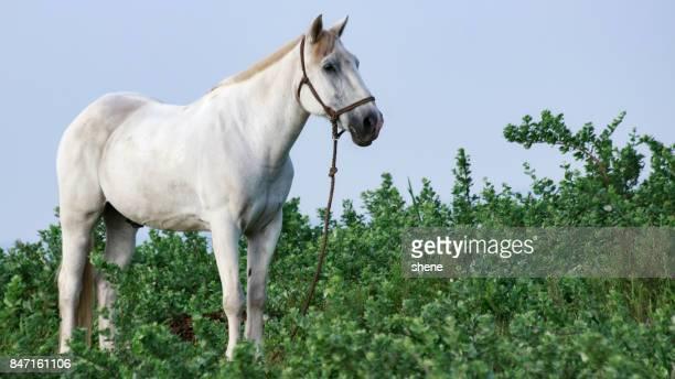Freedrom-Deprived White Horse