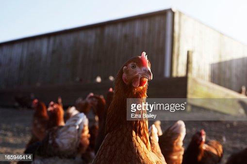Free-range chicken on a farm on Cornwall, UK. : Stock Photo