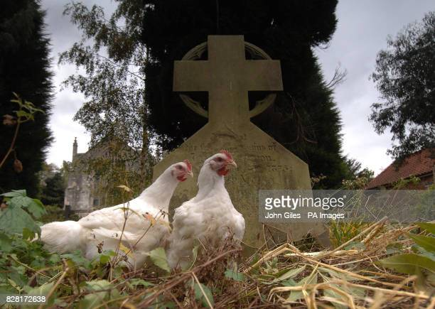 Freerange chickens in a churchyard near York Friday October 14 2005 As fear grows over the global spread of bird flu the Government is busy stocking...