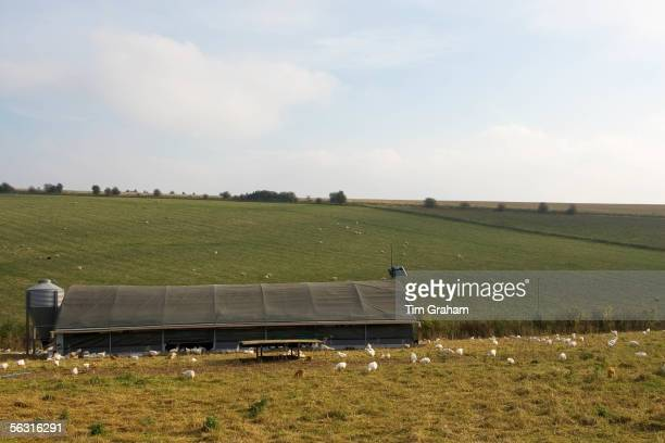 Freerange chickens of breed Isa 257 roam freely in and out of their solar powered barn at Sheepdrove Organic Farm Lambourn England