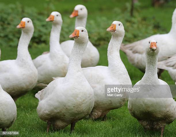 Freerange geese that have been reared for the Christmas table graze on the lawn in front of the farmhouse at the Maunder's family run Home Farm in...