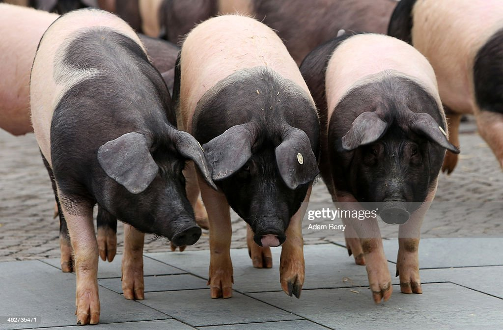 Free-range hogs belonging to demonstrating farmers arrive to graze in front of the German federal chancellery on January 15, 2014 in Berlin, Germany. The pigs, which are not treated with hormones or antibiotics except in medical emergencies and are only fed with non-genetically-modified food, were brought to the demonstration as a symbol against industrial farming and the Transatlantic Trade and Investment Partnership (TTIP), a trade agreement to be negotiated between the European Union and the United States that organic farmers see as a threat to environmental protection, health and safety standards as well as consumer rights.