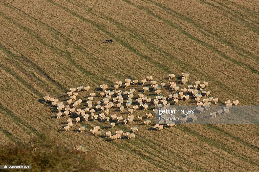Free-range sheep being herded together by a sheep dog at Sheepdrove Organic Farm, Lambourn, England : Stock Photo