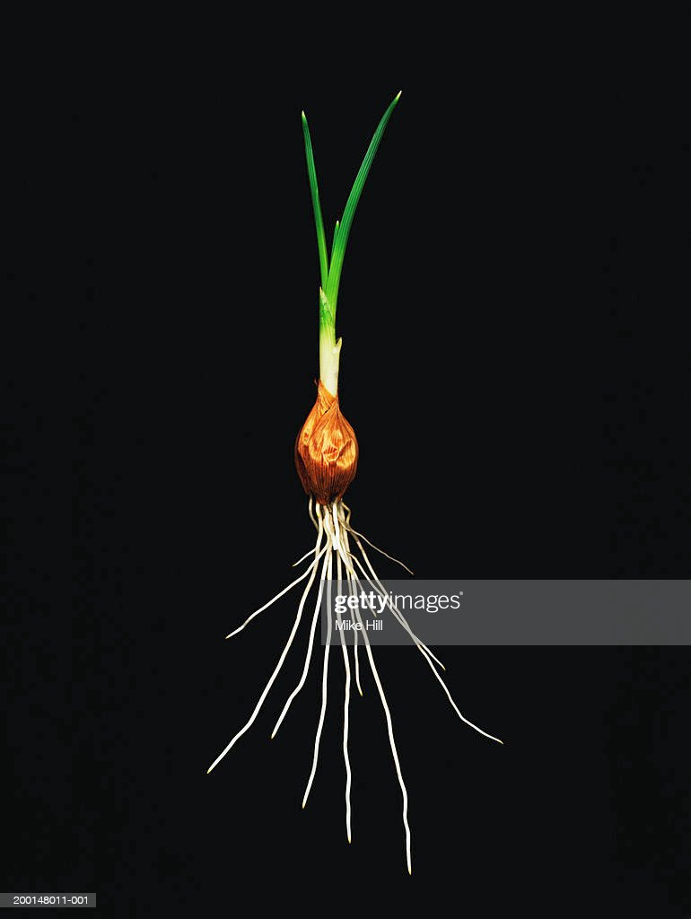 Freesia bulb (Freesia sp.) against black background, close-up : Stock Photo