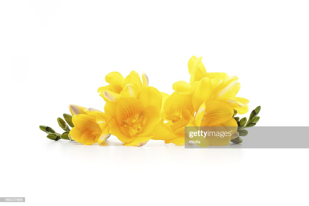 Freesia flowers laying down