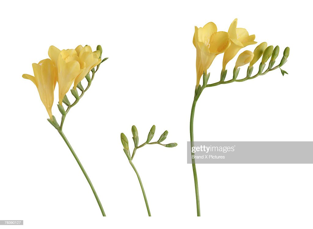 Freesia : Stock Photo