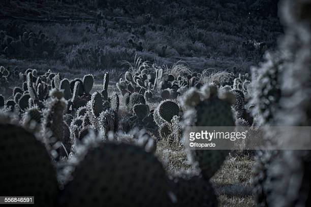 Freezed cactus in a field