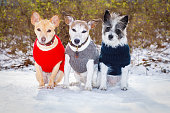 cool funny freezing icy couple of dogs in a row  in in the snow with pullover or sweater , sitting and waiting to go for a walk with owner