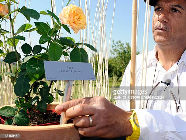 French actor and humorist Pascal Legitimus puts a board with his name in the pot of a new kind of rose which was given his name on May 29 2012 in the...