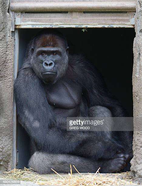 French born Western Lowland Gorilla male 12yearold Kibali peers out from a doorway at the new Gorilla Forest exhibit at Taronga Zoo in Sydney on...