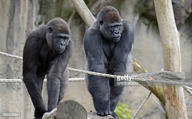 French born Western Lowland Gorilla male 12yearold Kibali with female Mbeli explores the new Gorilla Forest exhibit at Taronga Zoo in Sydney on...