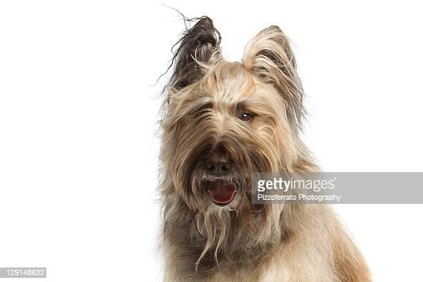 French Briard Dog