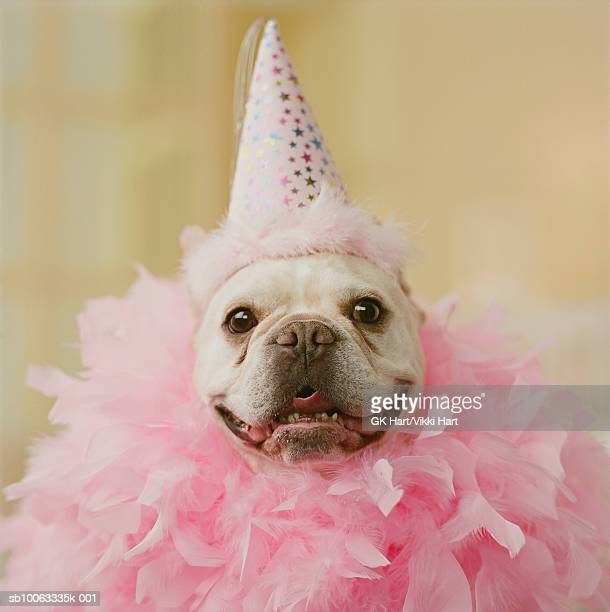 French Bull Dog wearing party hat and feathers, close-up