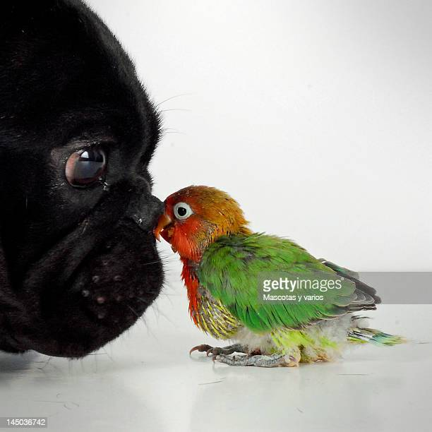 French bulldog and lovebird