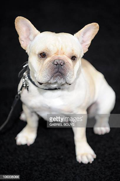 A French Bulldog arrives at the premiere of 'Due date' in Hollywood California on October 28 2010 AFP PHOTO / GABRIEL BOUYS
