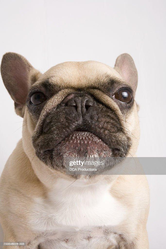 French Bulldog, close-up : Stock Photo