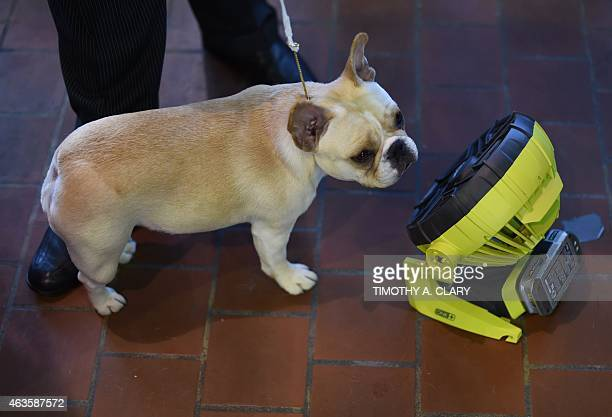 A French Bulldog cools off in front of a fan in the benching area at Pier 92 and 94 in New York City on the first day of competition at the 139th...